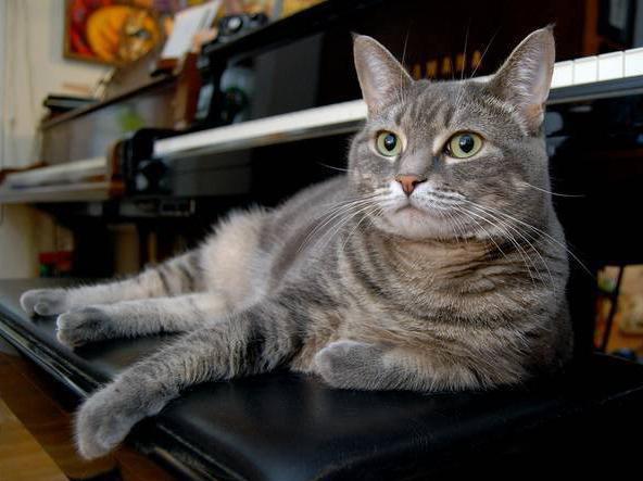 Nora the Piano Cat