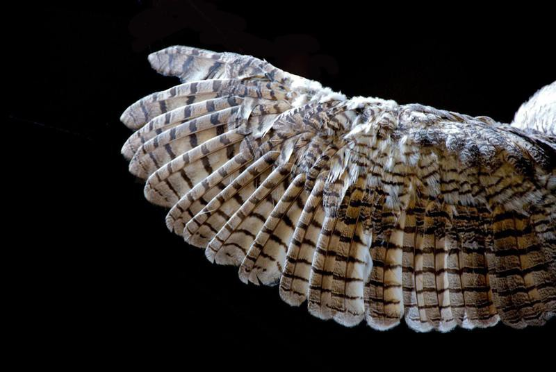 Close-up of an owl's wing