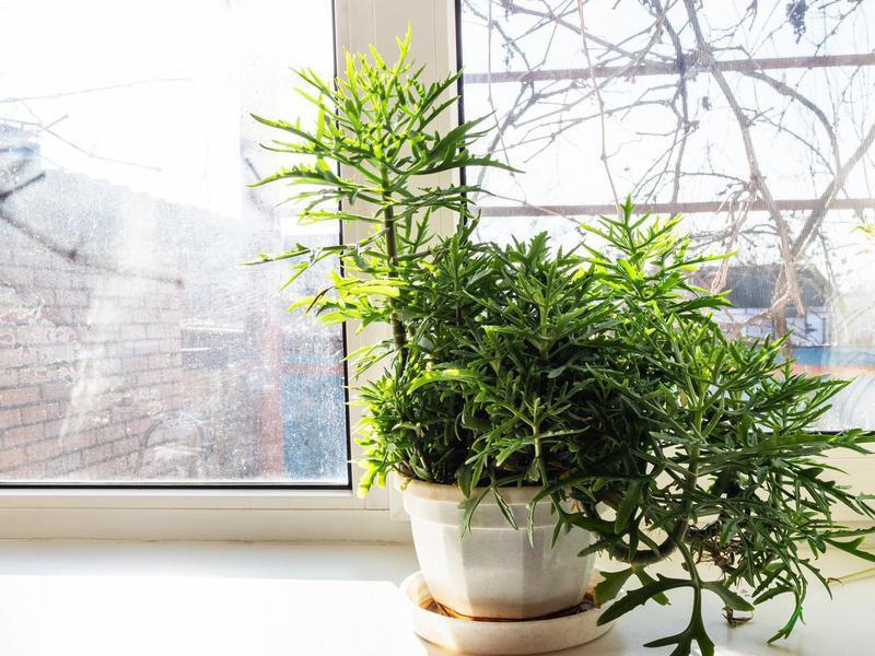 Staghorn fern in a pot