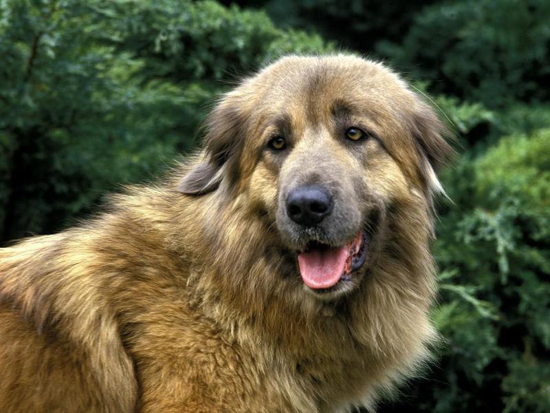 Estrela Mountain Dog Overview