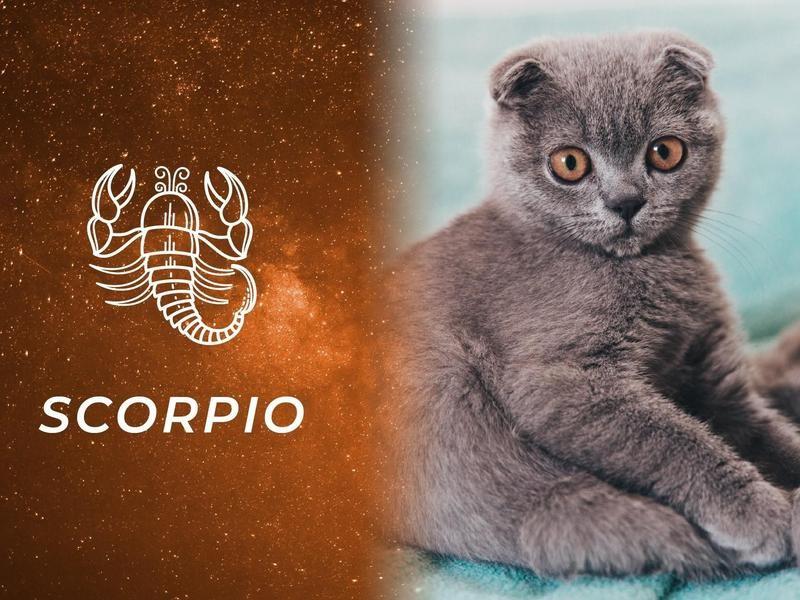 Scorpio: Scottish Fold