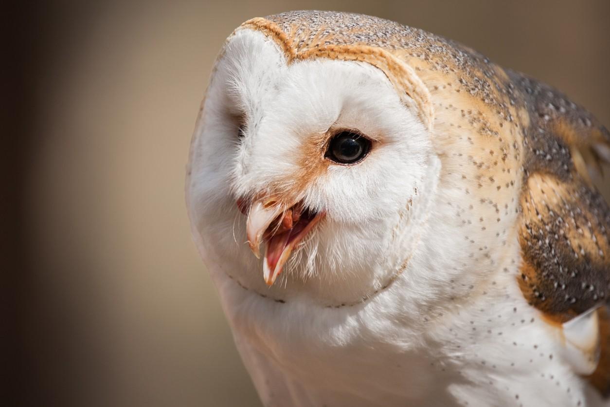 Barn owl in North Carolina