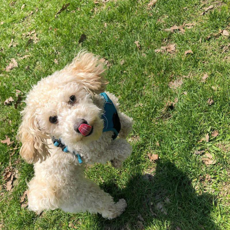 White poodle at the park with its tongue out