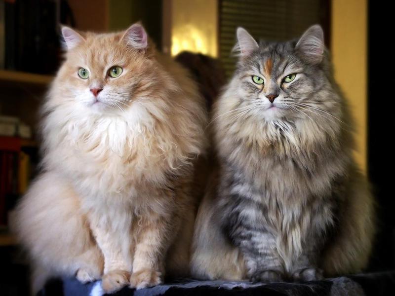 Siberian cats on a cat tree