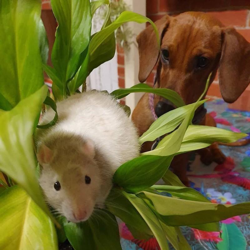 Rat and dachshund