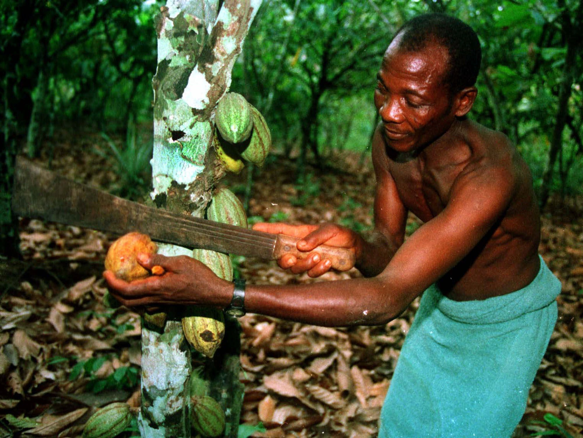 Pod of cocoa beans in Ivory Coast