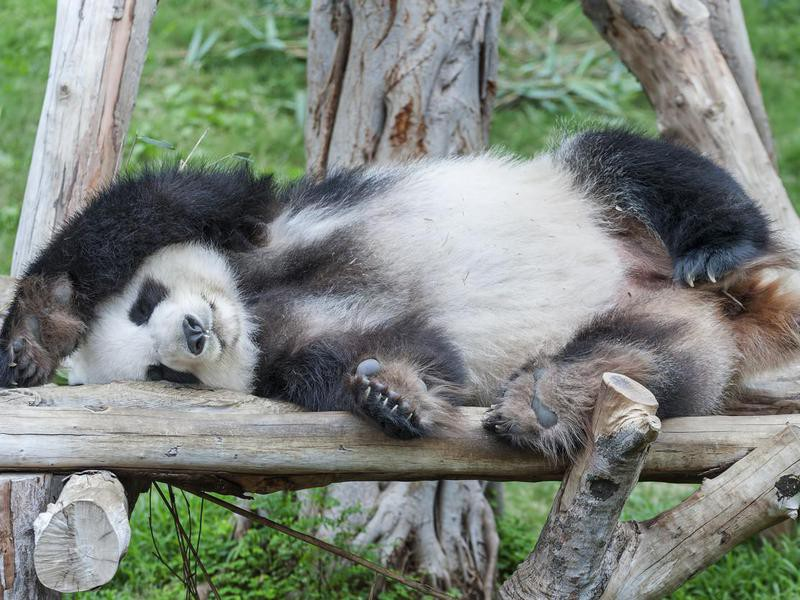 When do panda bears sleep?