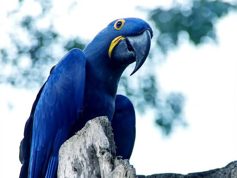Spix's macaw perched on a tree