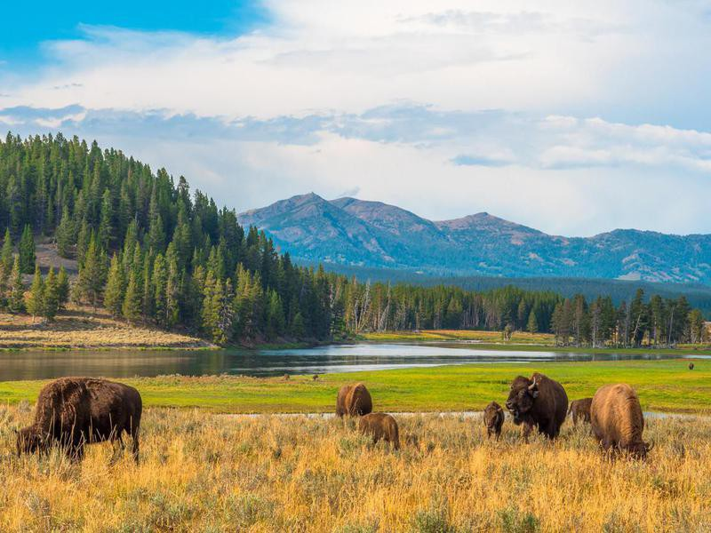 Grazing bison at Yellowstone National Park