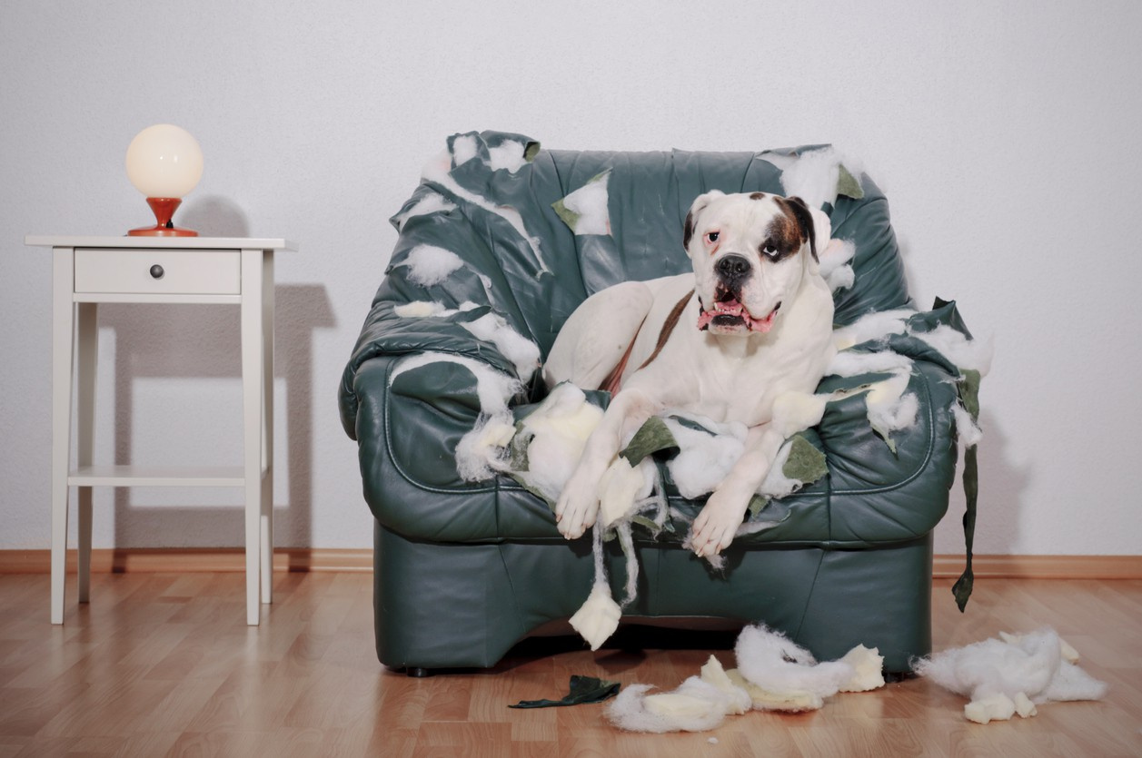 Dog sitting on chewed-up leather chair