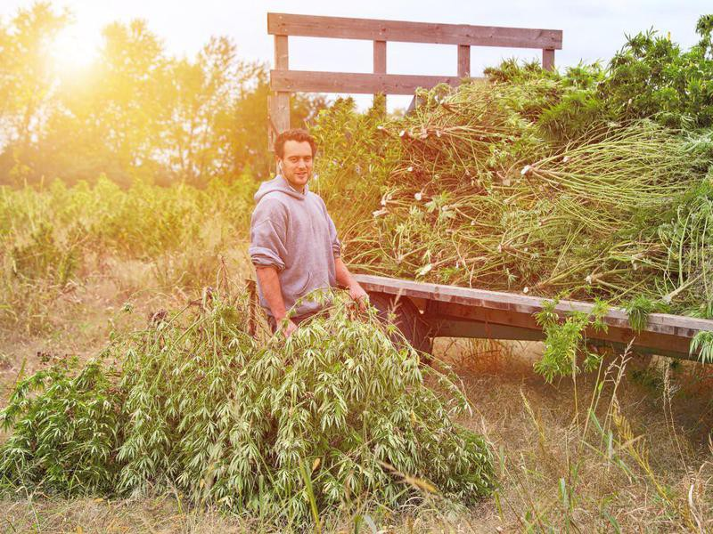 Harvesting marijuana plants