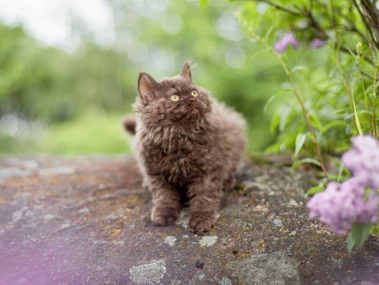 Selkirk Rex kitten outside