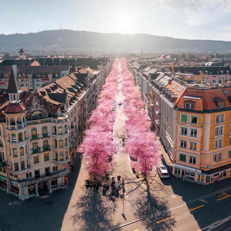 Cherry blossoms street in Zurich