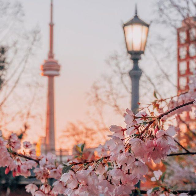 Cherry blossoms in downtown Toronto
