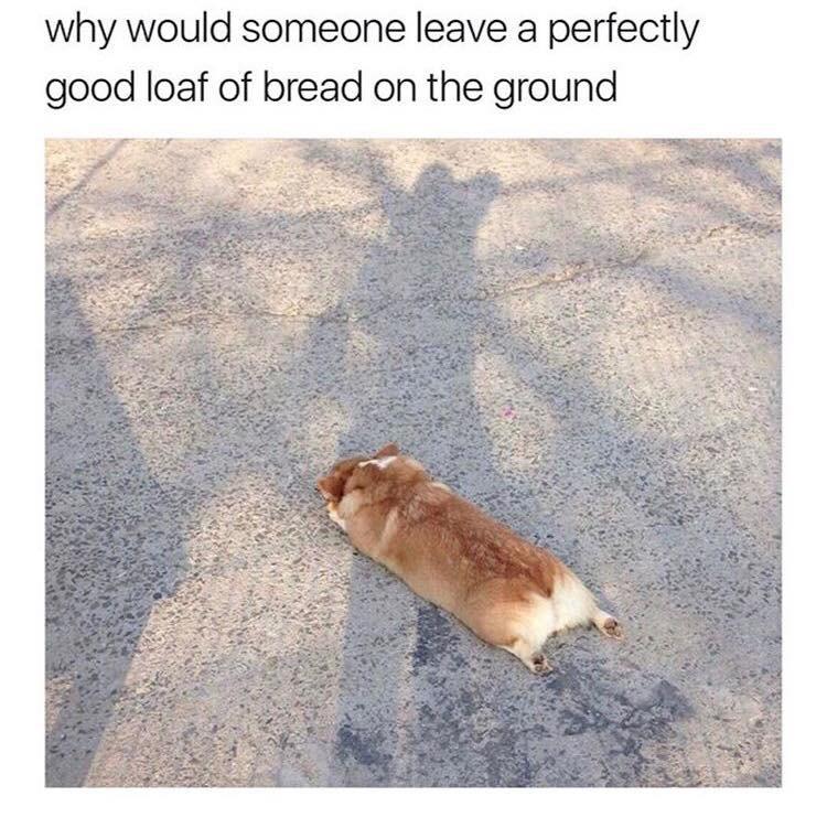 Corgi on ground