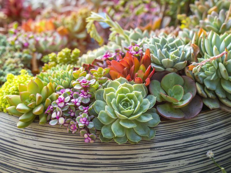 Choose Hardy Succulents