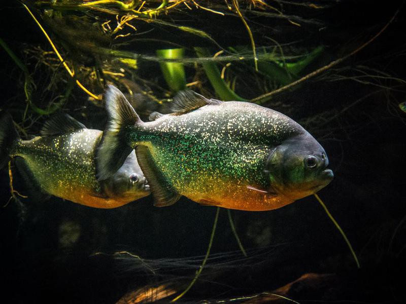 Piranhas in the Amazon River