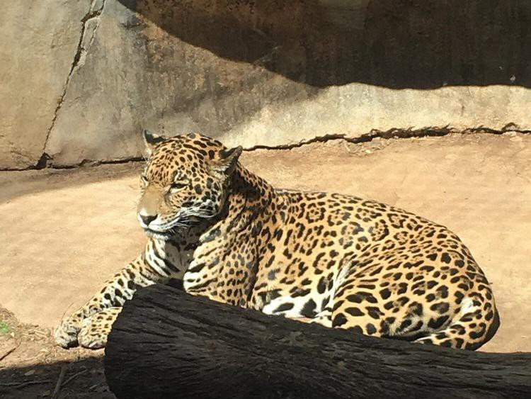 Leopard at Cameron Park Zoo