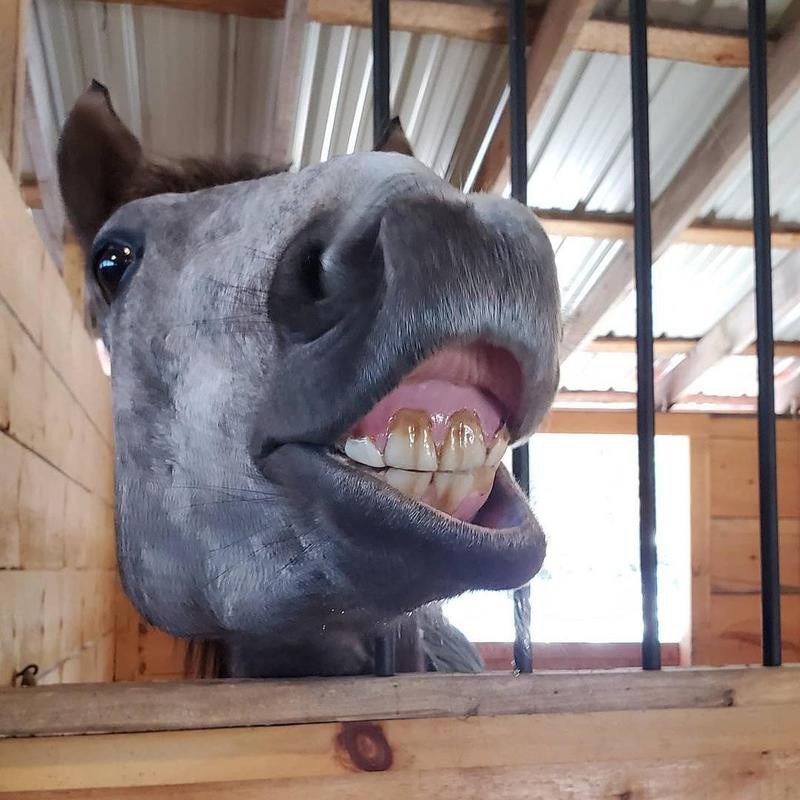 Horse Smiling in Barn