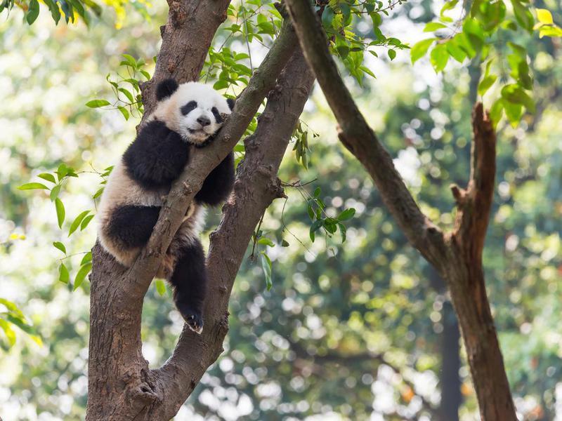 Where do panda bears live