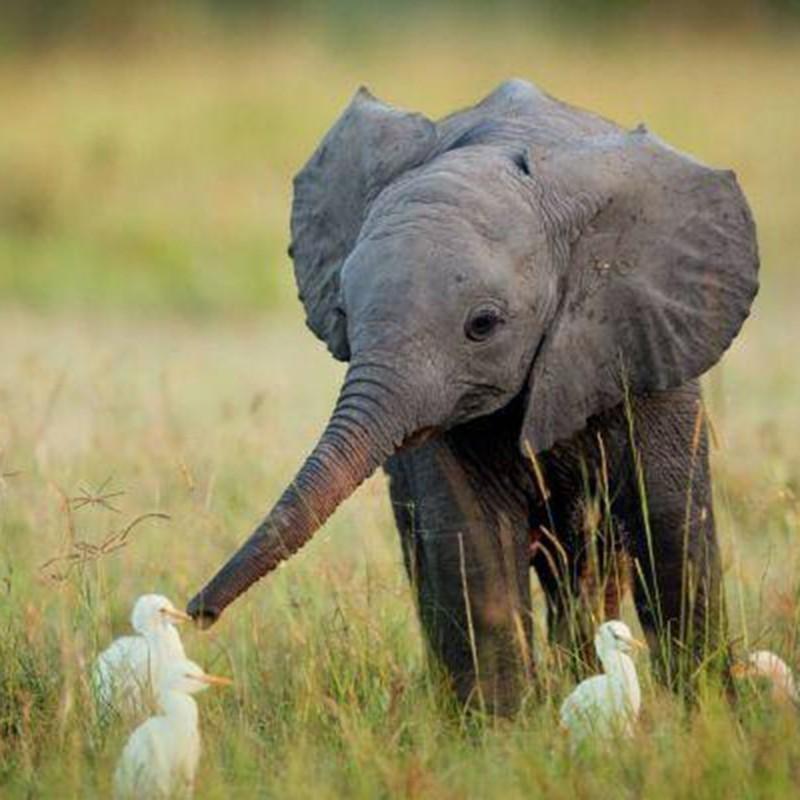Elephant and ducks