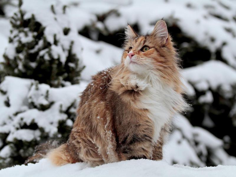 Norwegian forest cat outdoors in wintertime
