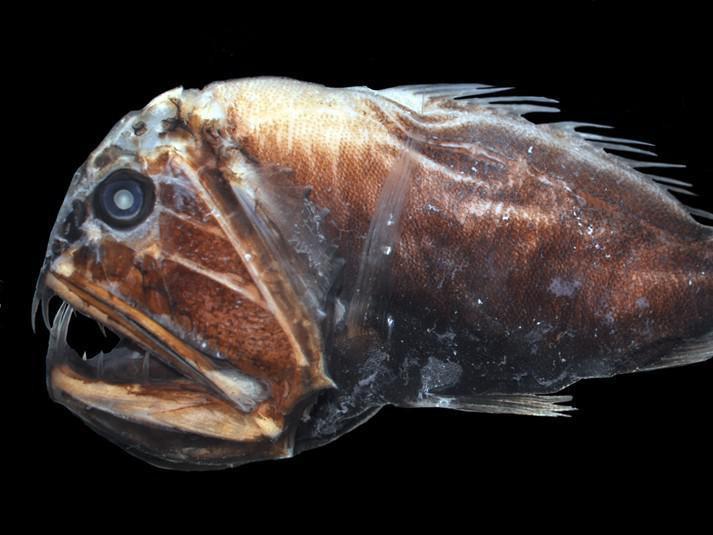 Deep Sea Fangtooth Fish