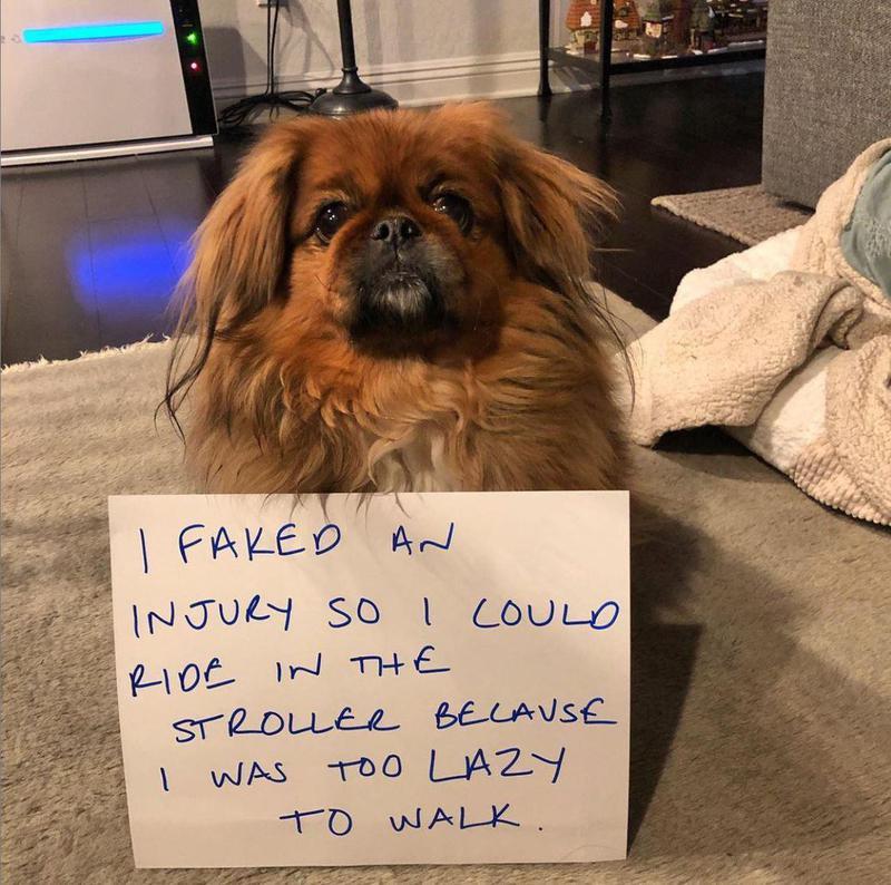 Dog fakes an injury