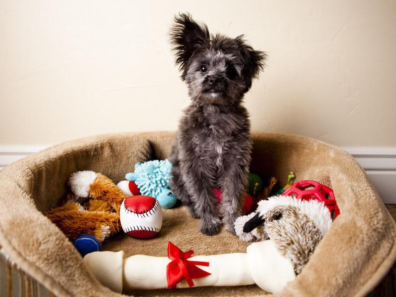 Yorkiepoo Puppy Sitting in Bed of Toys