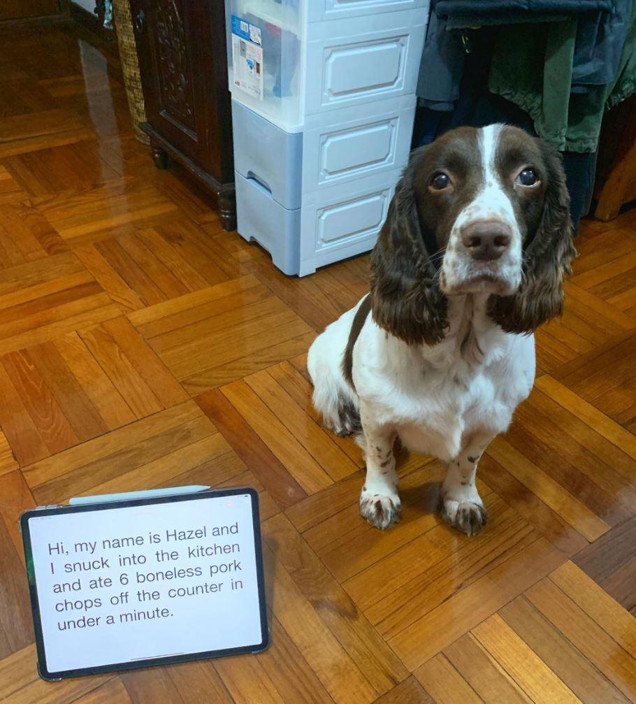 Funny basset hound at pork chops