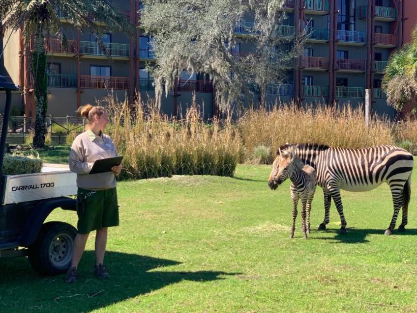 Zebras outside of Disney's Animal Kingdom Lodge
