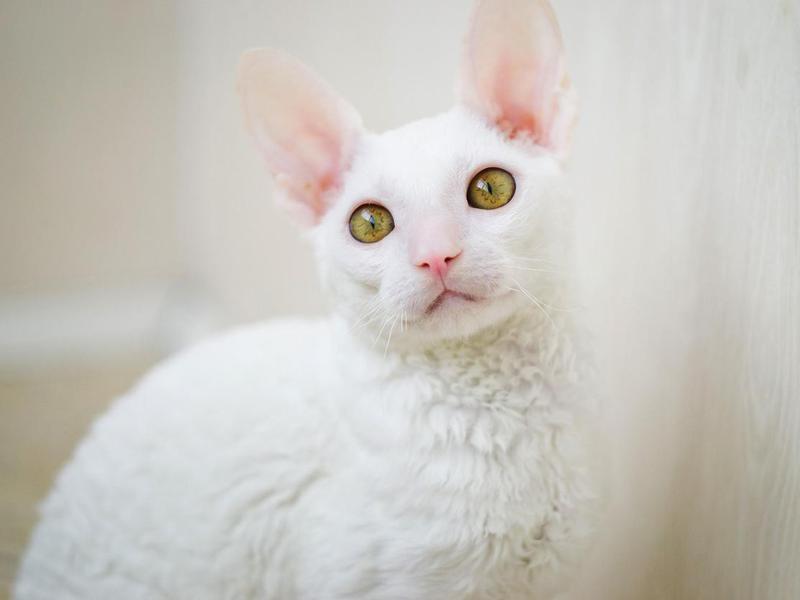 Young white Cornish Rex cat