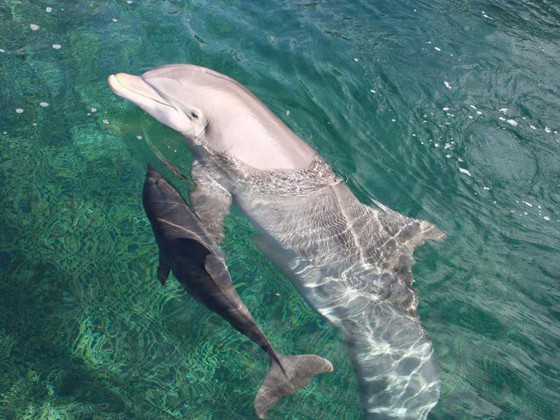 Mom and Calf Swimming