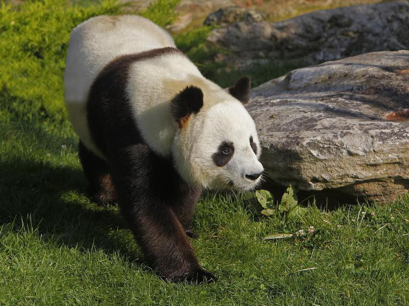 How do panda bears protect themselves?