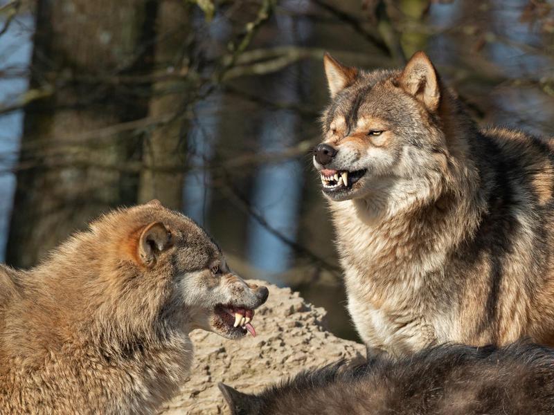 Snarling wolves