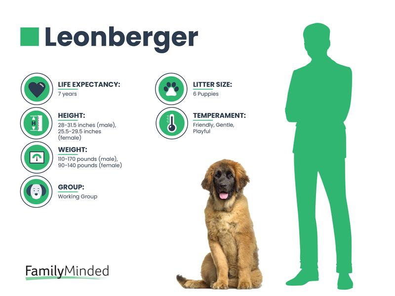 Leonberger breed