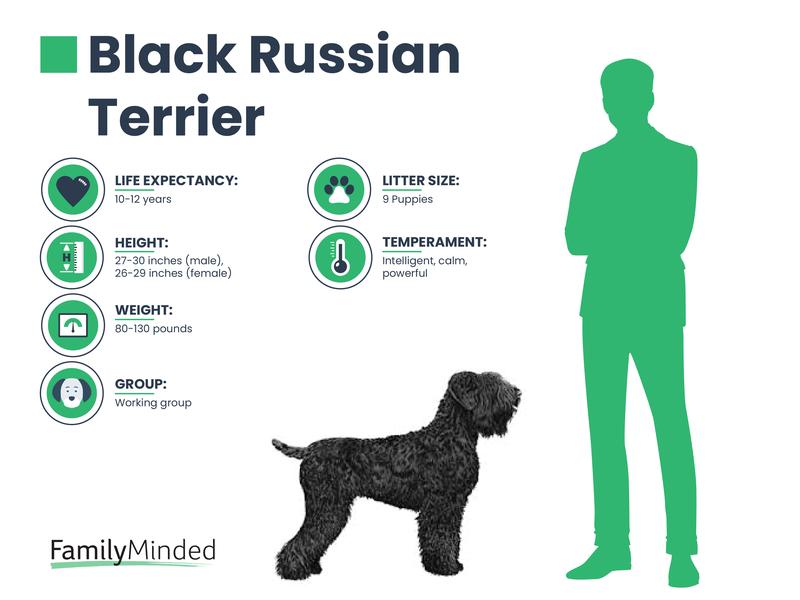 Russian Terrier breed info