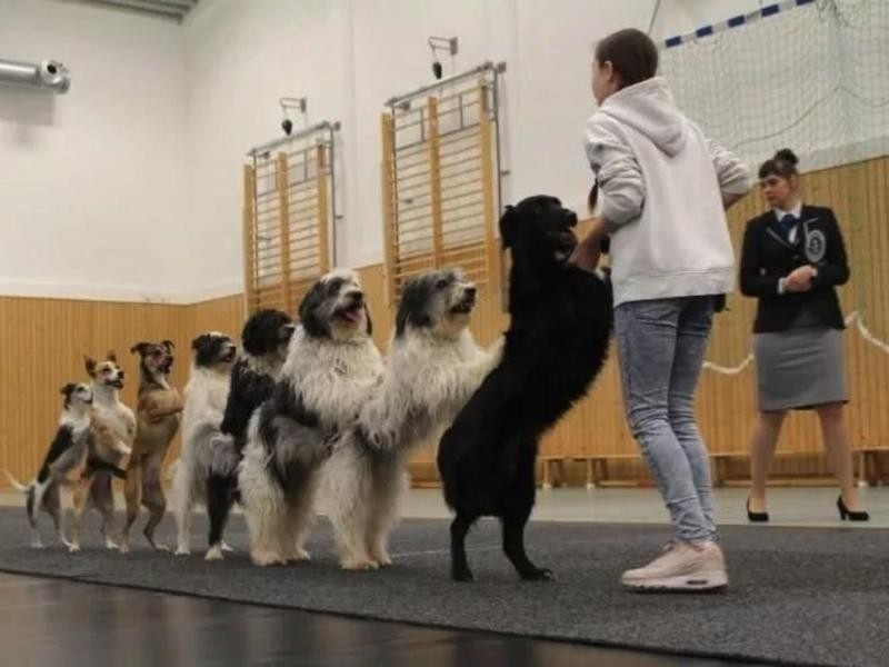 The Most Dogs in a Conga Line