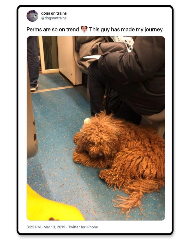 Fluffy dog on train