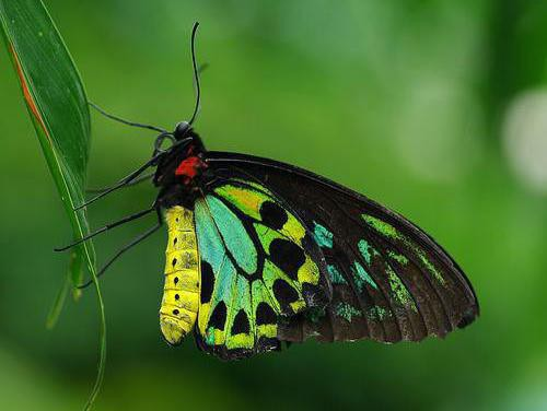 largest butterfly