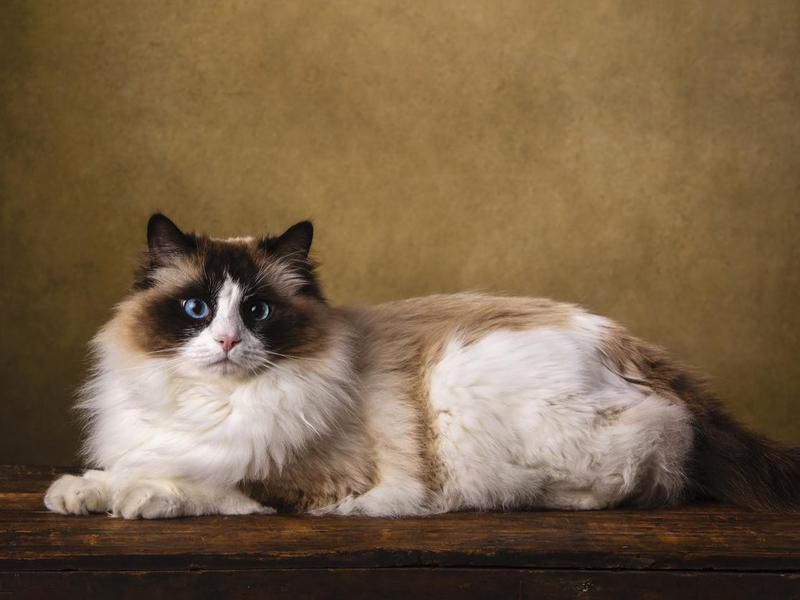 Bicolor Ragdoll cat portrait