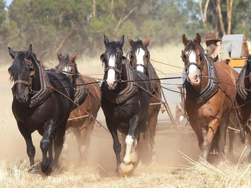 Australian Draught Horse