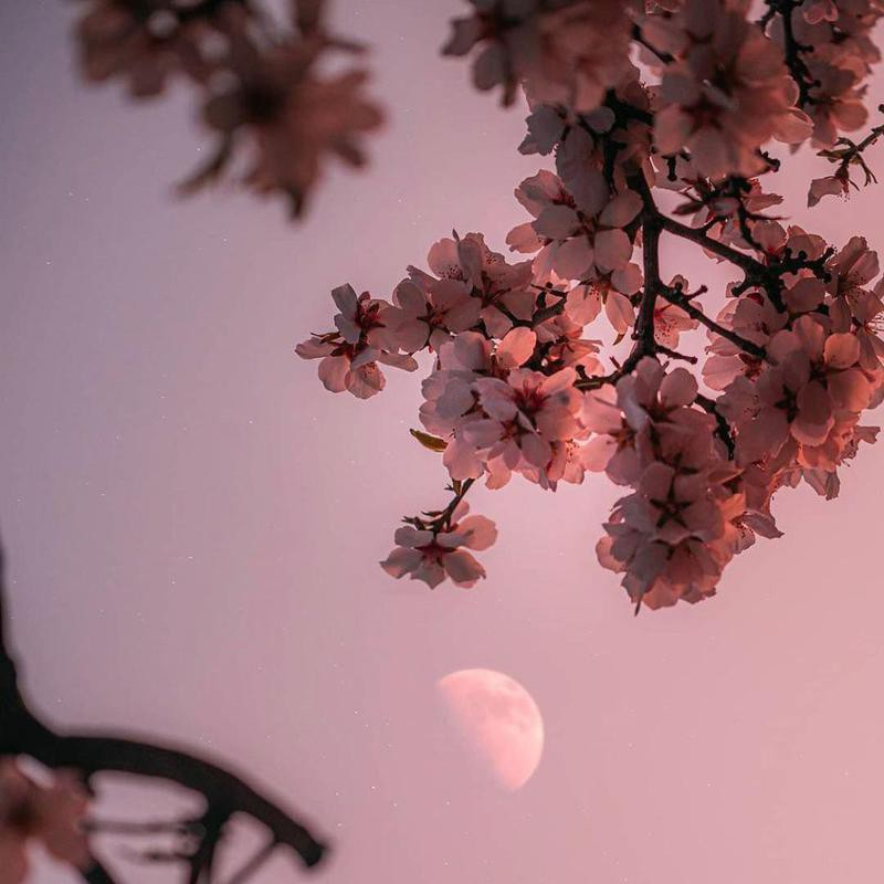 Cherry blossoms and moon in Portland