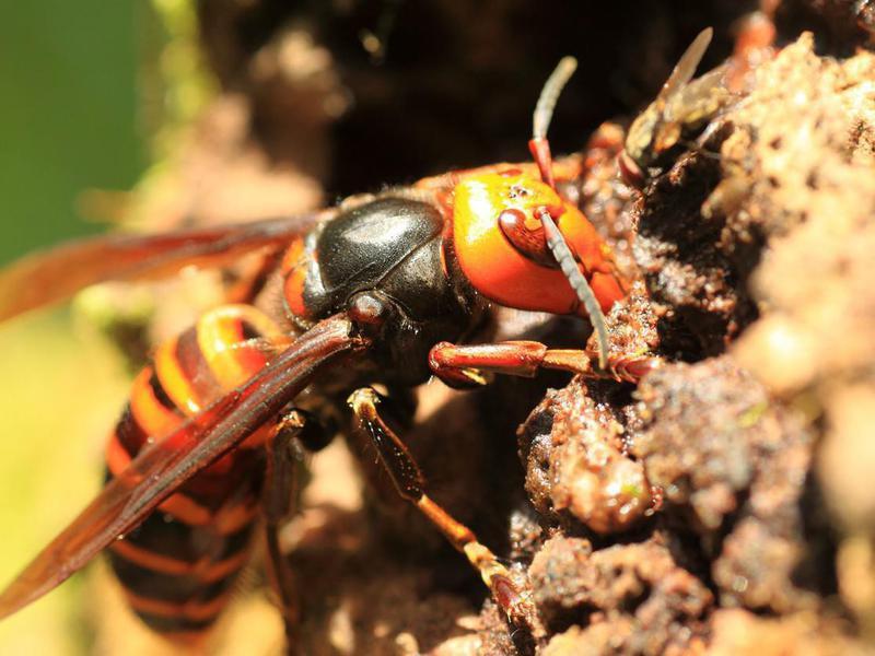 Asian Giant Hornets (aka, Murder Hornets)