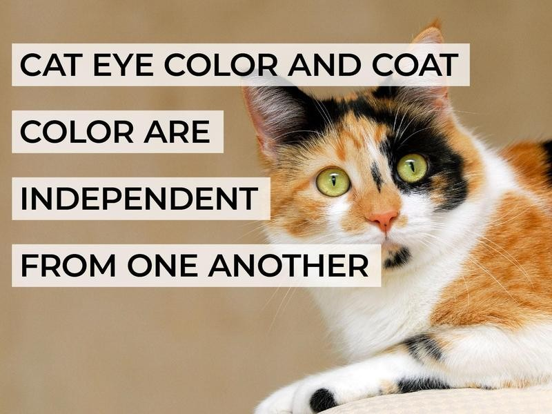 Cat Eye Color and Coat Color Are Independent From One Another