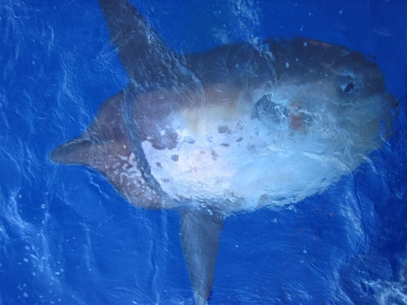 Sharptail Mola