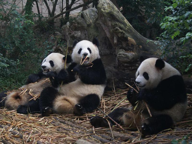 When are panda bears fully grown?