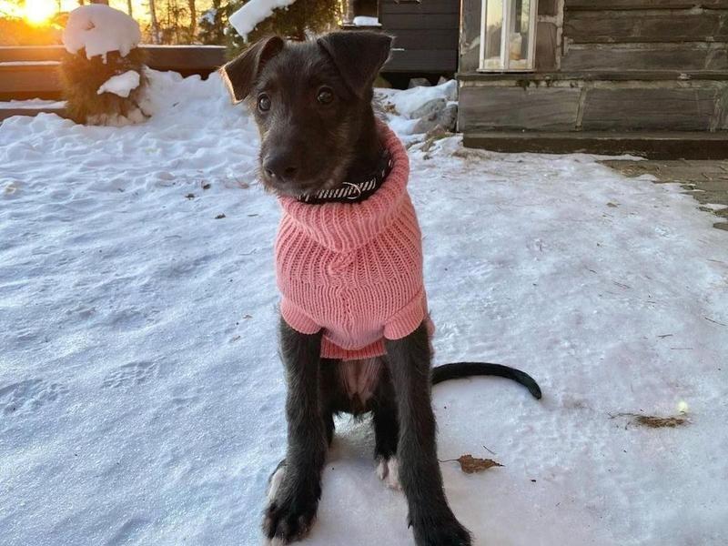 Scottish Deerhound Puppy in Sweater