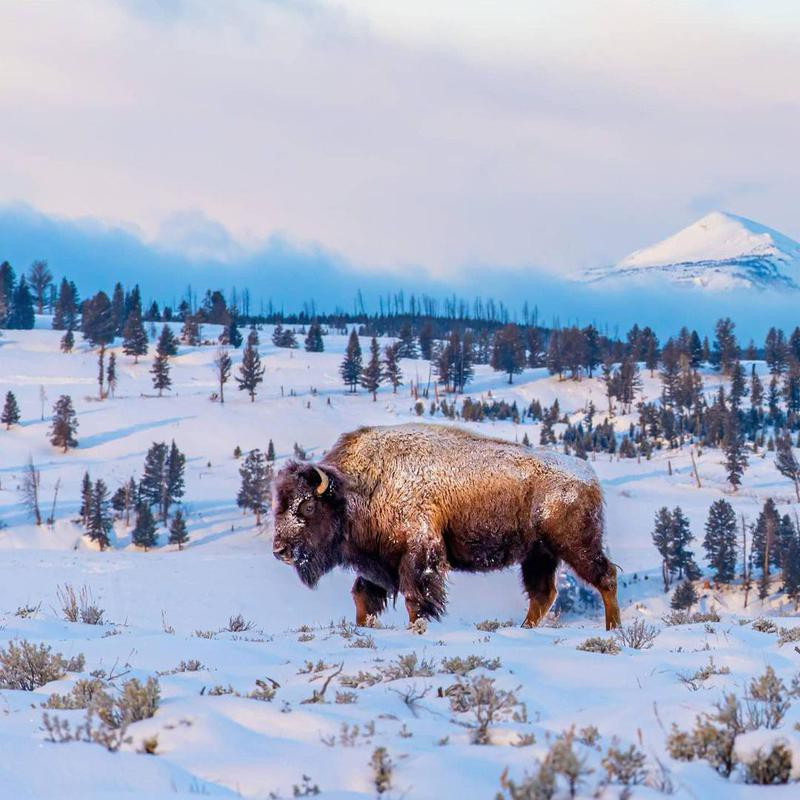 Bison at Yellowstone National Park in winter