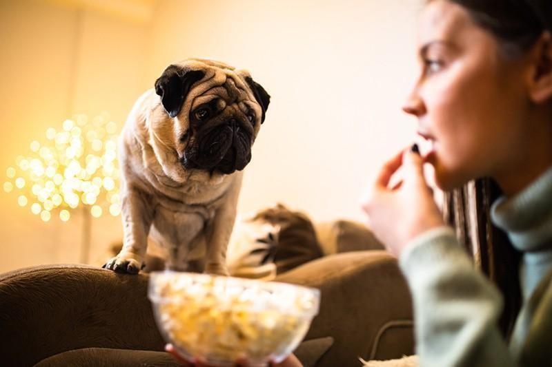 pug begging for food